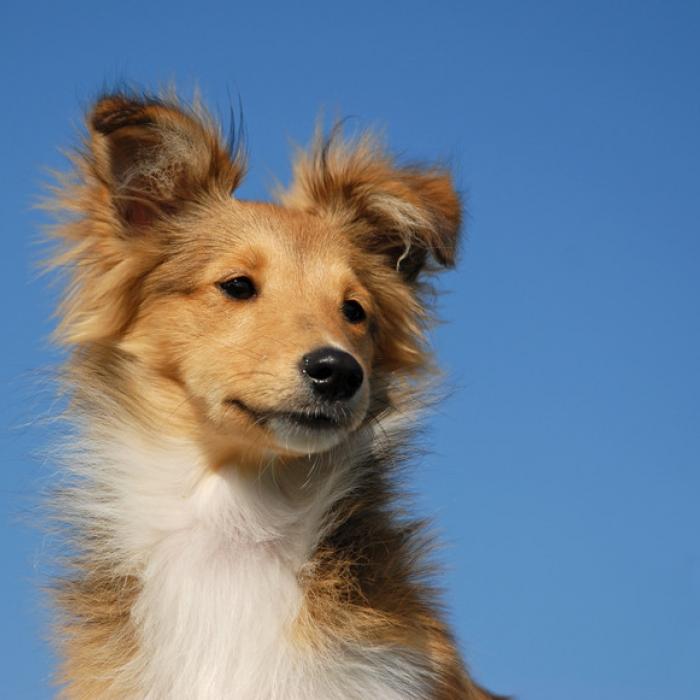 Shetland sheepdog puppy amp shetland sheepdog breed information