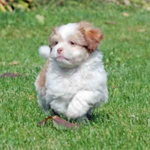 Shih Poo Puppy Amp Shih Poo Breed Information