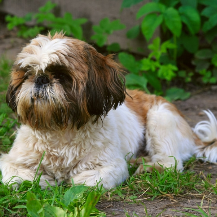 shih tzu puppy amp shih tzu breed  rmation