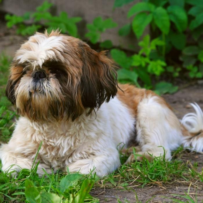 Shih Tzu Puppy Breed Information