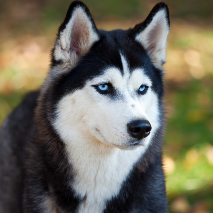 Siberian husky puppy siberian husky breed information siberian husky voltagebd Image collections
