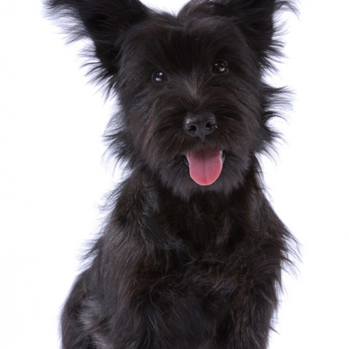 skye terrier for sale skye terrier puppies for sale 5227