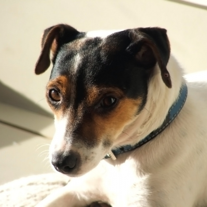 smooth fox terrier puppy amp smooth fox terrier breed