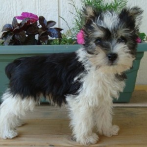 Snorkie Puppy Snorkie Breed Information
