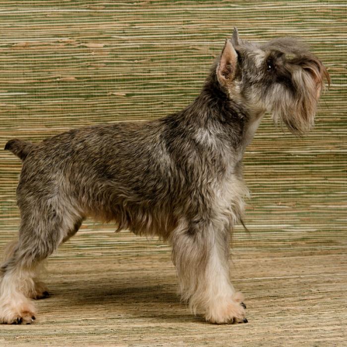 Standard Schnauzer Puppy & Standard Schnauzer Breed Information
