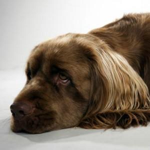 Sussex Spaniel Puppy Sussex Spaniel Breed Information