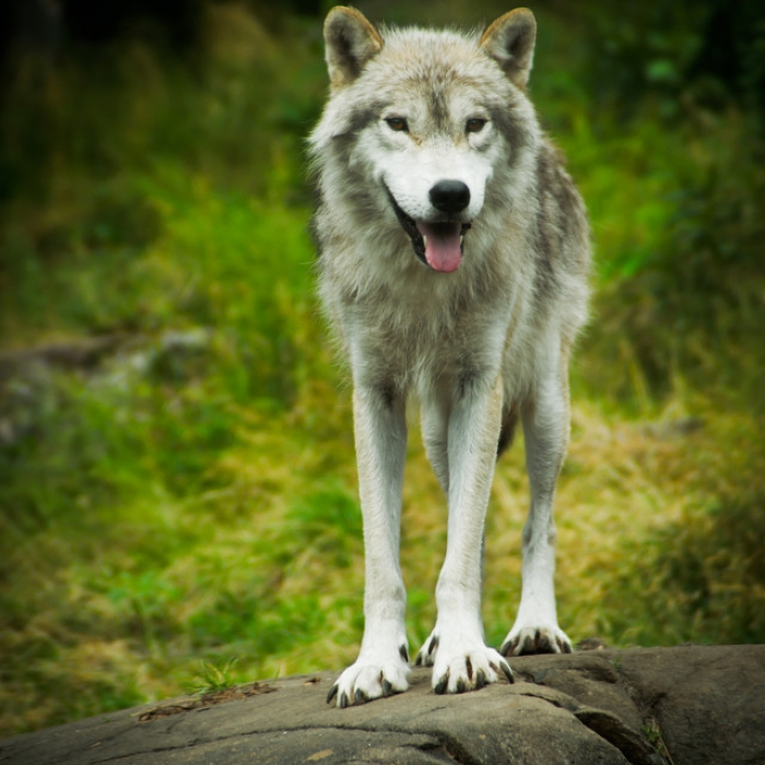 Timber Wolf Puppy & Timber Wolf Breed Information