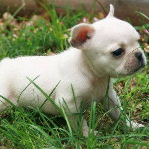 toy bulldog puppies for sale toy bulldog puppies for sale 4956