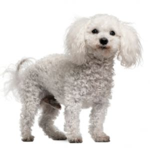 Toy Poodle Puppy Toy Poodle Breed Information
