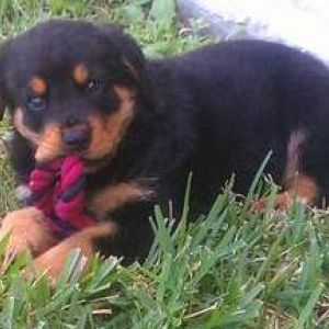 Toy Rottweiler Breed Information And Facts