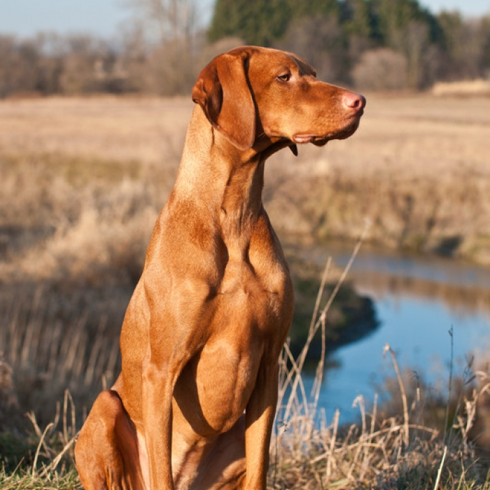 Vizsla Puppy & Vizsla Breed Information
