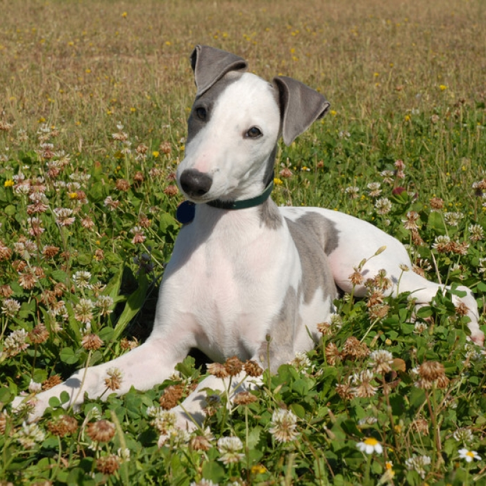 whippet puppy amp whippet breed information