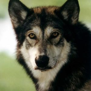 wolf hybrid puppy wolf hybrid breed information