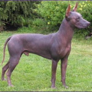 Xoloitzcuintli Breed I...