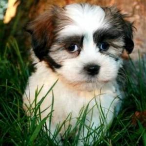 Yorkiechon Puppy Yorkiechon Breed Information