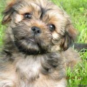 Yorkinese Breed Information And Facts