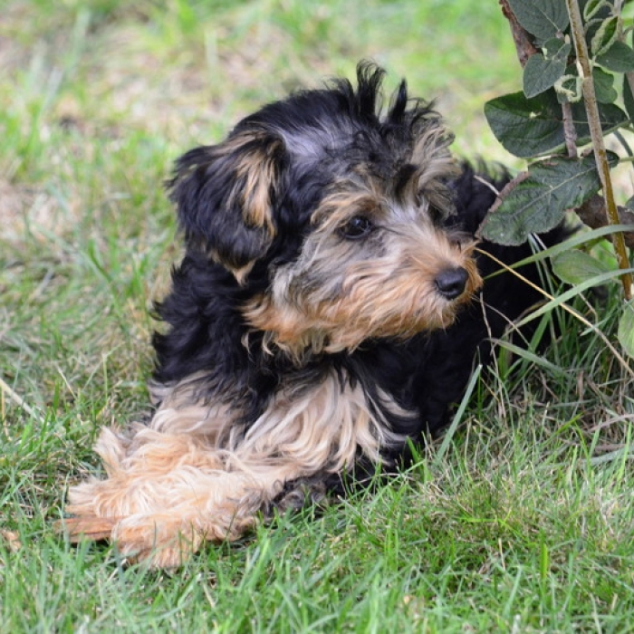 yorkipoo puppy amp yorkipoo breed information