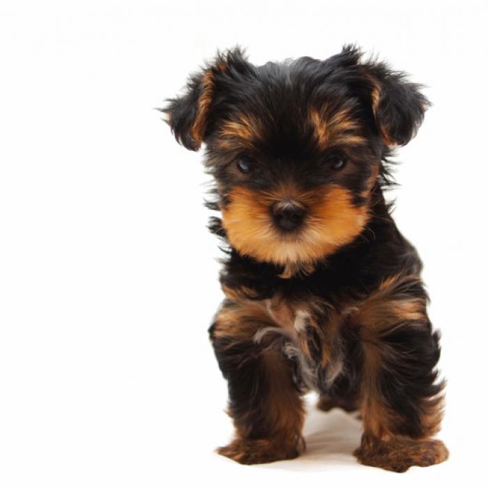 Yorkshire Terrier Yorkie Terrier