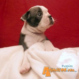 Terriers / Boston Terriers For Sale / # Adopted D3- LiL' BITSY MAE