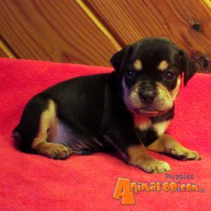 Home / Puppies For Sale / Toy Rottweilers / Toy Rottweilers For Sale