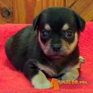 Home / Puppies For Sale / Rottweilers / Rottweilers For Sale / Toy ...