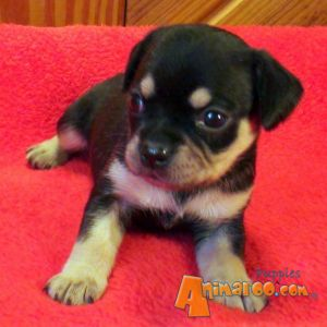 Home / Puppies For Sale / Toy Rottweilers / Toy Rottweilers For Sale ...