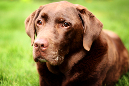 Translating Labrador Retriever dog years into human years