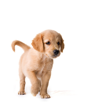 Picking a puppy that is right for you