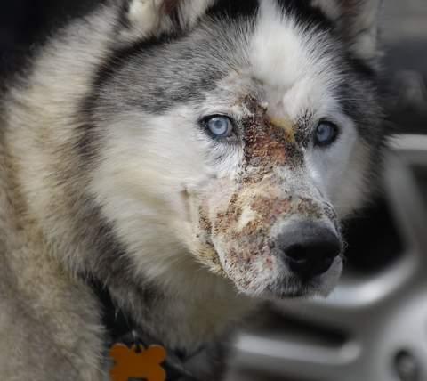 Siberian Husky Logan